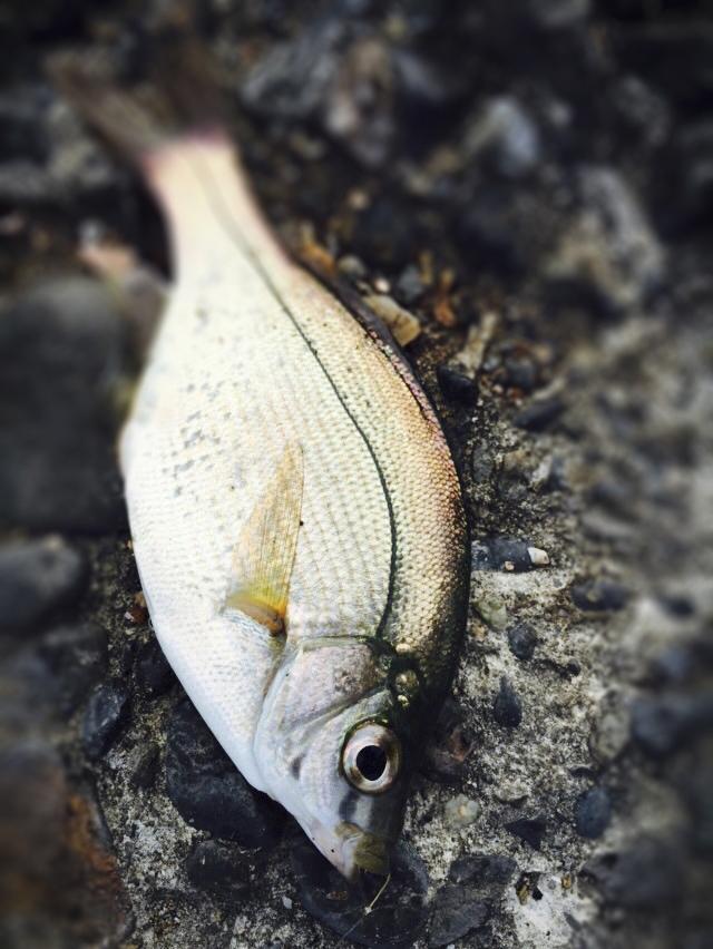某落花生の県でショアジギ青物調査隊リベンジ釣行の巻